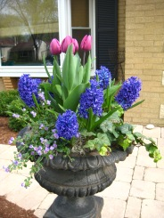 Spring Annual Container with pink tulips and purple hyacynths