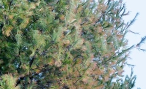 pine with blight on needles