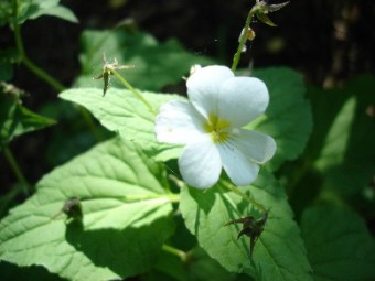 canadian white violet flower