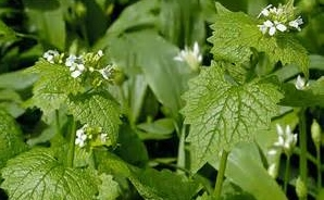 Garlic mustard plant witth white blooming flowers