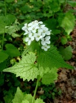 garlic mustard with white flowers