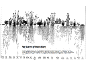 chart showing how deep our native plant roots go