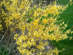 forsythia blooming yellow