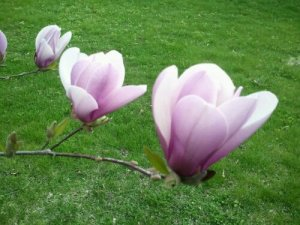 pink magnolia tree blooming