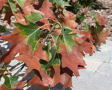 oak with the brown leaves of oak wilt disease