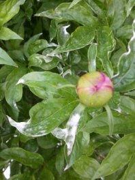 white mildew on peony leaves