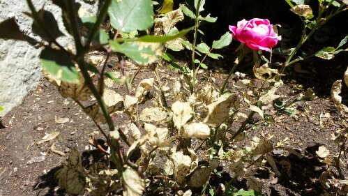 brown dried leaves of sawfly damage on roses
