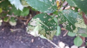 sawfly larvae on rose leaf