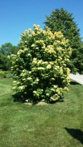 White Japanese lilac shrub tree white blooms