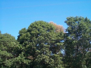 signs of oak wilt in oak tree