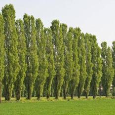 poplar tree windscreen