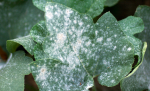 mildew on ivy leaf