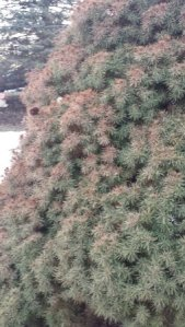 Winter damage on evergreen - looks red or burnt