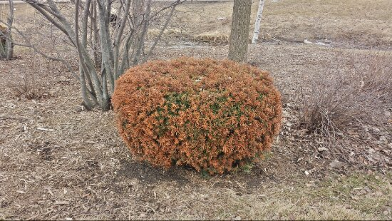 Dense yew evergreen with rusty looking winter damage