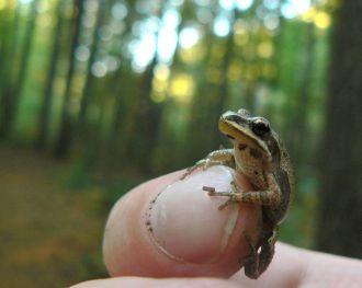 Western_chorus_frog