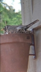 mom robin sitting on nest