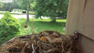 baby bird robins in nest