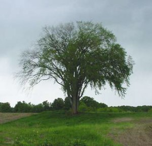 Elm tree with dutch elm disease