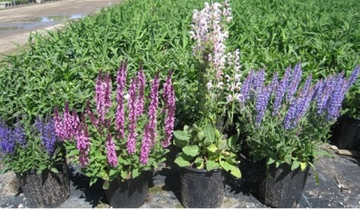 salvia plant called sage