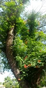blooming trumpet vine