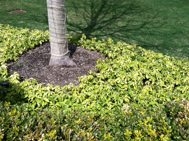 pachysandra with blight disease