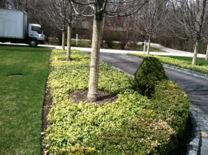 pachysandra ground cover with blight disease