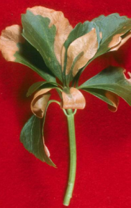 pachysandra with winter injury