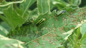 four line plant bugs eating a leaf