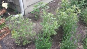four line plant bug damage