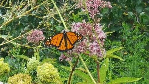 orange monarch butterfly on purple joe pye weed plant