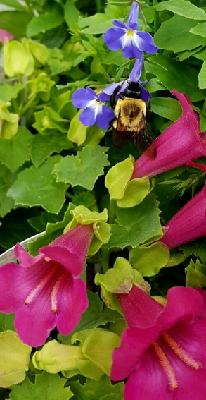carpenter bee on a blue flower