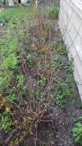 dead shrubs