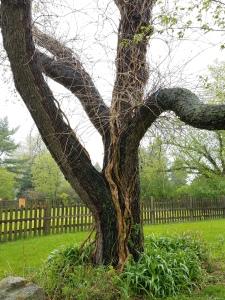 Trumpet vine on tree