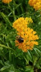 bubble bee on butterflyweed