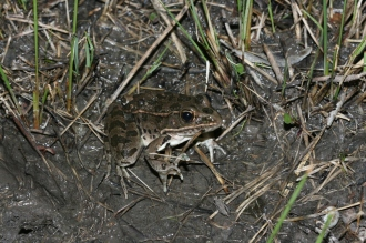 Plaines Frog