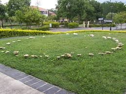 fairy ring in lawn