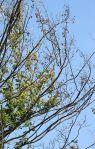 dutch elm disease in tree
